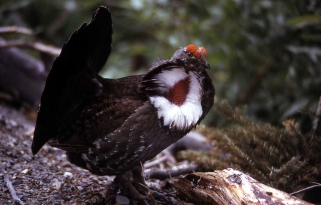 Male Blue Grouse Picture