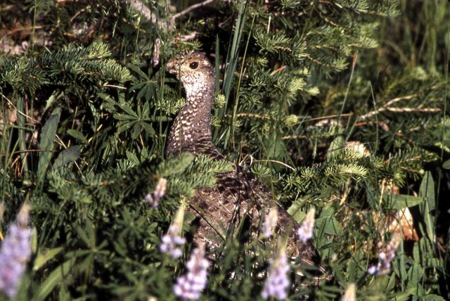 Blue Grouse Picture