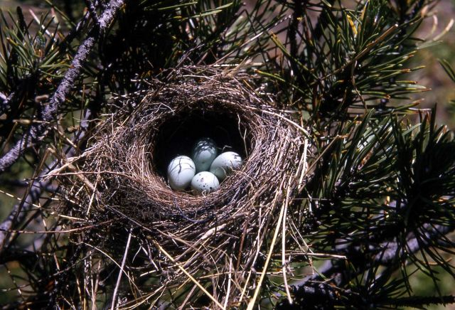 Chipping Sparrow nest with four eggs Picture