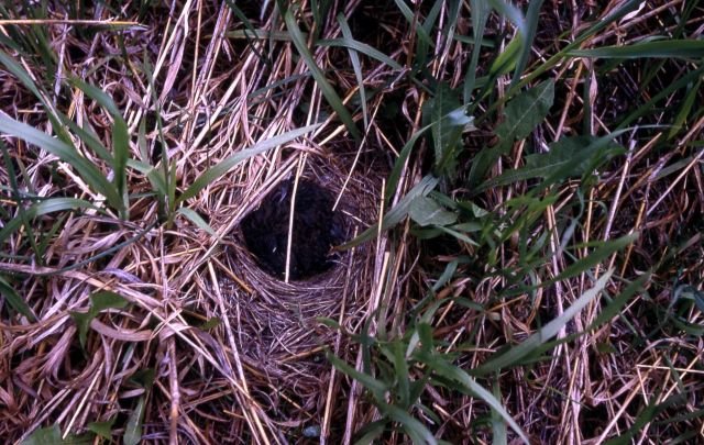 Dark-eyed Junco nest with nestlings Picture