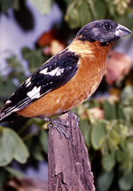 Male Black-headed Grosbeak Picture