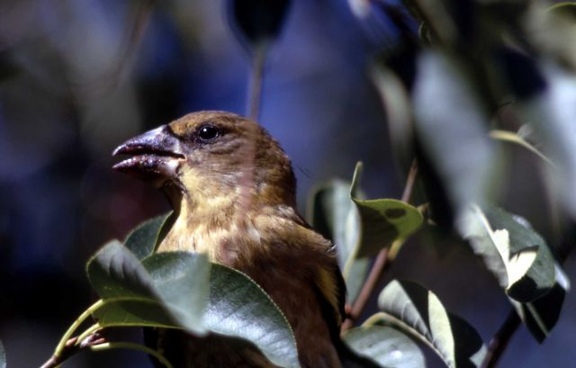 Female Evening Grosbeak Picture