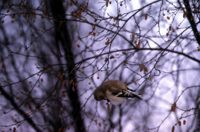 Female American Goldfinch Picture