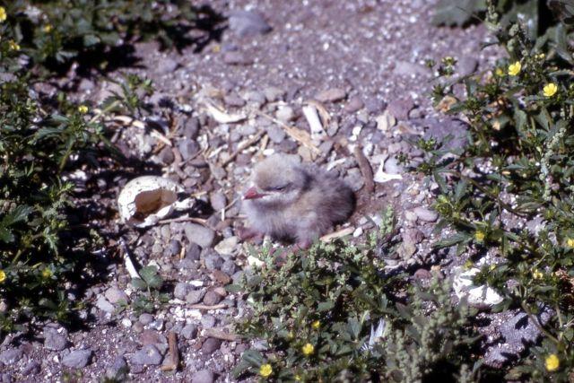 Caspian Tern nestling Picture