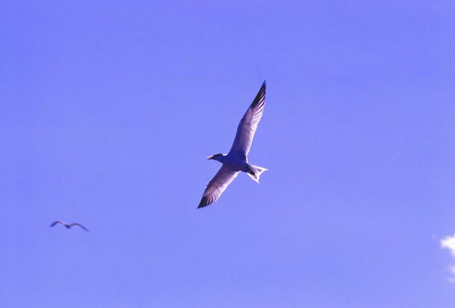 Caspian Tern in flight Picture