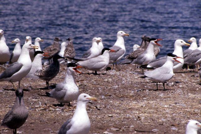 Caspian Tern & California Gulls Picture