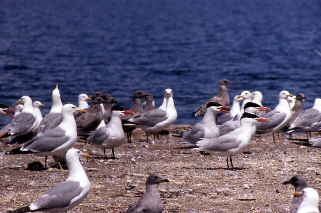 Caspian Terns & California Gulls Picture
