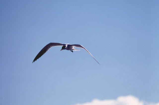 Caspian Tern in flight Picture