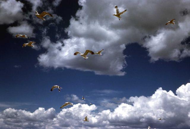California Gulls in flight Picture