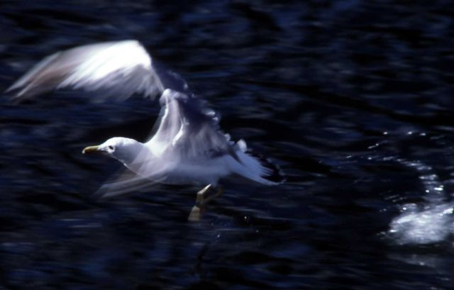 California Gull taking off from water Picture