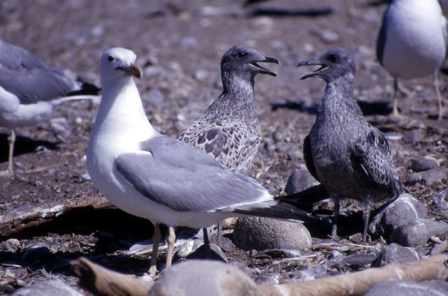 Adult & two immature California Gulls Picture