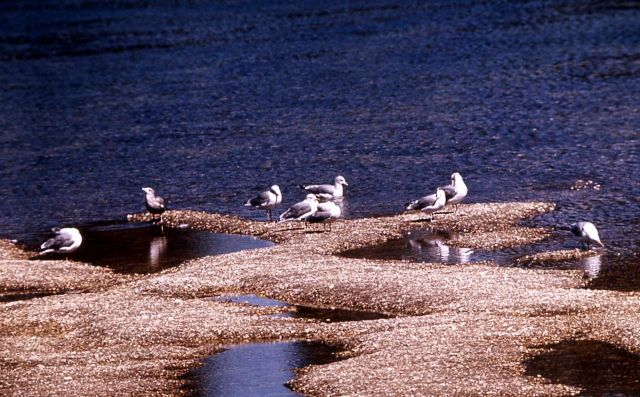 Group of California Gulls Picture