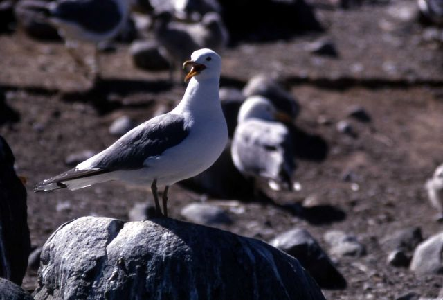 California Gull Picture