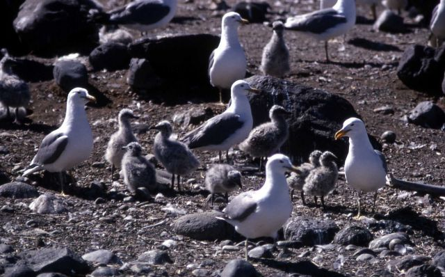Group of California Gulls with juveniles Picture