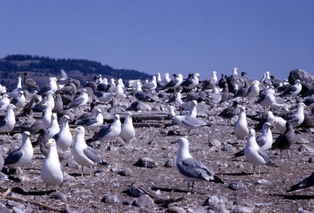 Group of California Gulls with juveniles on Molly Island in Yellowstone Lake Picture