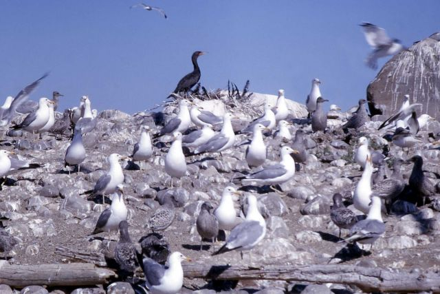 Group of California Gulls with juveniles & Double Crested Cormorant Picture
