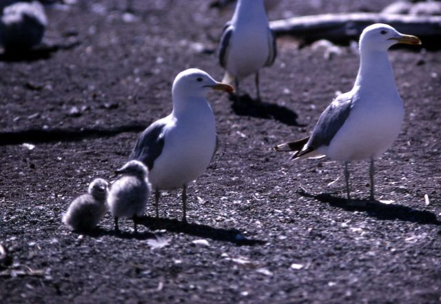 Adult California Gulls & immatures on Molly Island in Yellowstone Lake Picture