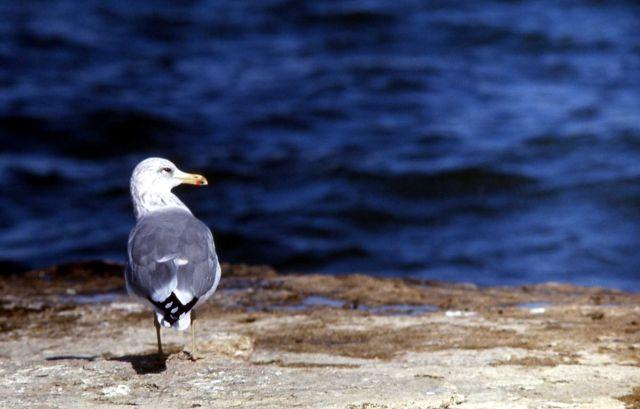 California Gull Picture