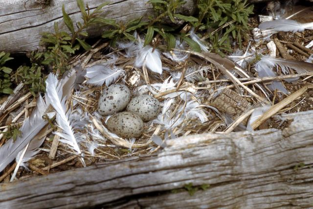 California Gull nest with three eggs Picture