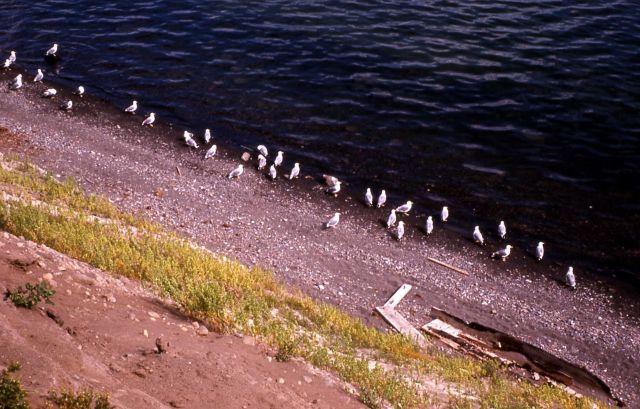 California Gulls on shore Picture