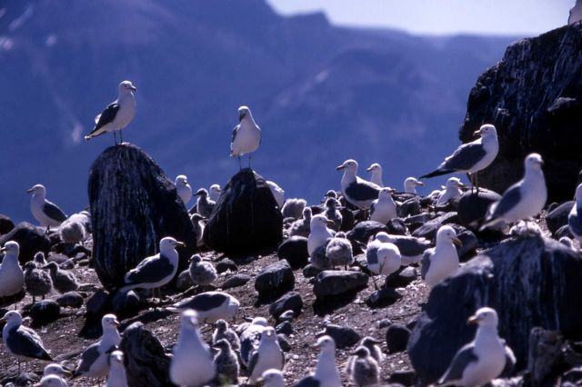 Adult California Gulls with juveniles Picture