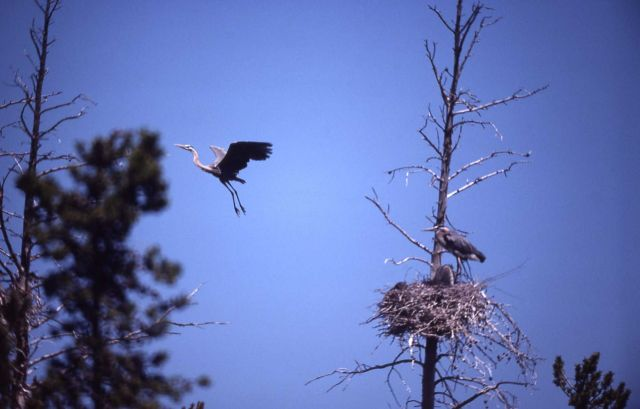 Great blue heron adult on nest & in air Picture