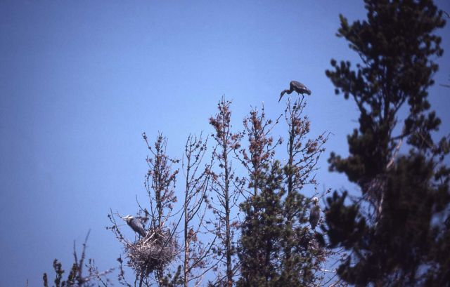 Great blue heron rookery Picture