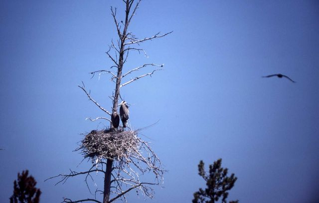 Great blue heron adult & nestling Picture