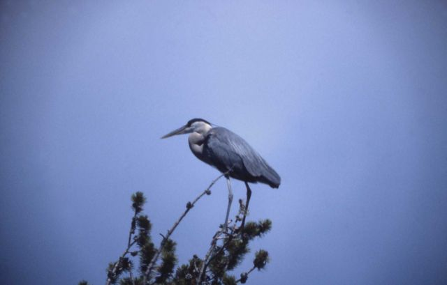 Great blue heron adult perched Picture