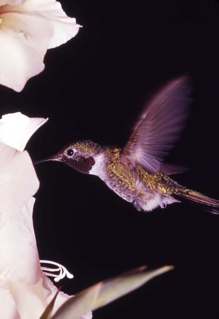 Broad-tailed Hummingbird Picture