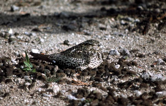 Common Nighthawk Picture