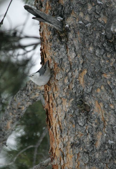 White-breasted nuthatch near Silver Gate, MT Picture