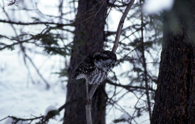 Boreal Owl in Silver Gate, Montana Picture