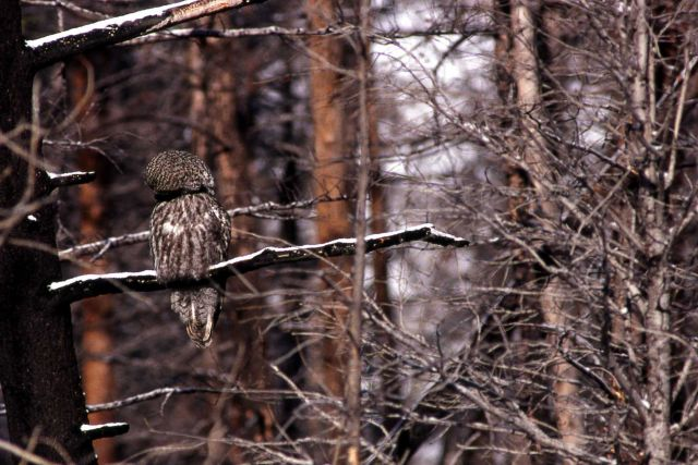 Great Gray Owl preening Picture
