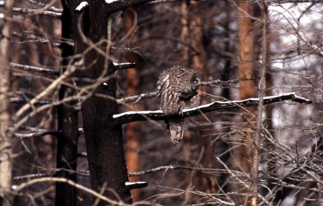 Great Gray Owl on burned tree branch Picture