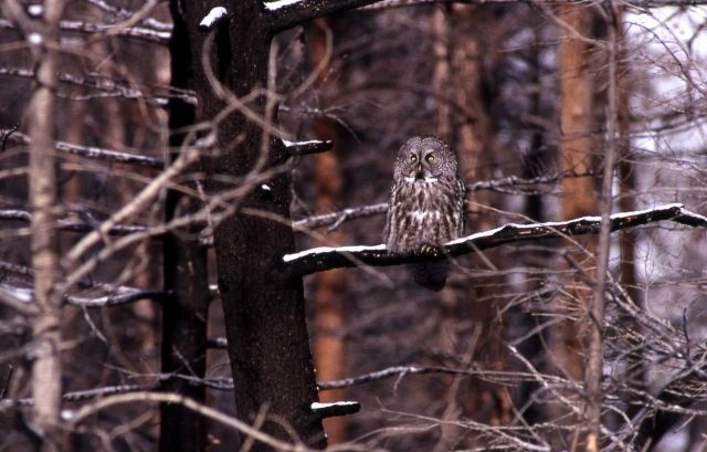 Great Gray Owl perched on burned tree branch Picture