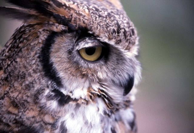 Captive Great Horned Owl - used in Yellowstone Association class Picture