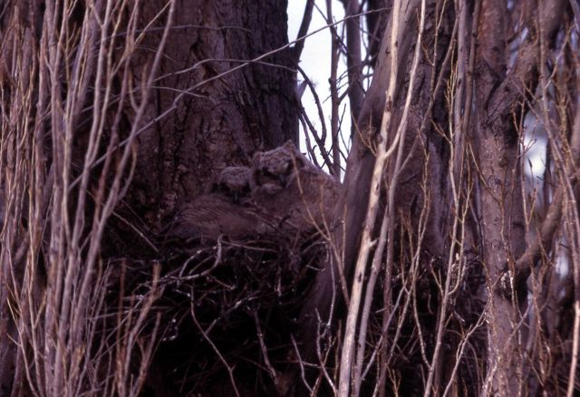 Two Great Horned Owl nestlings Picture