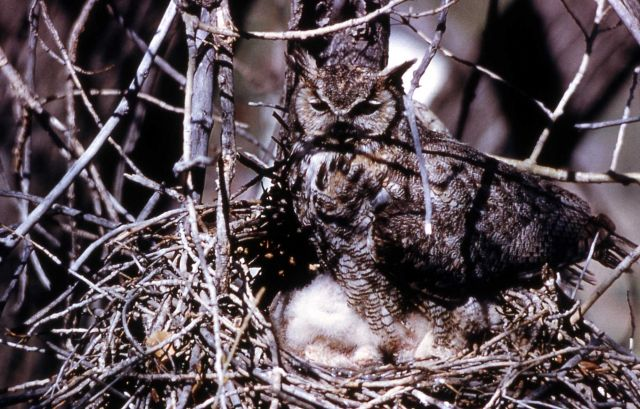 Great Horned Owl & nestlings Picture