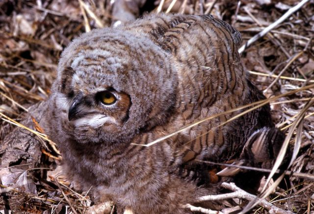 Juvenile Great Horned Owl Picture