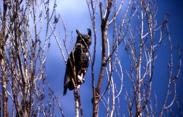 Long-eared Owl Picture