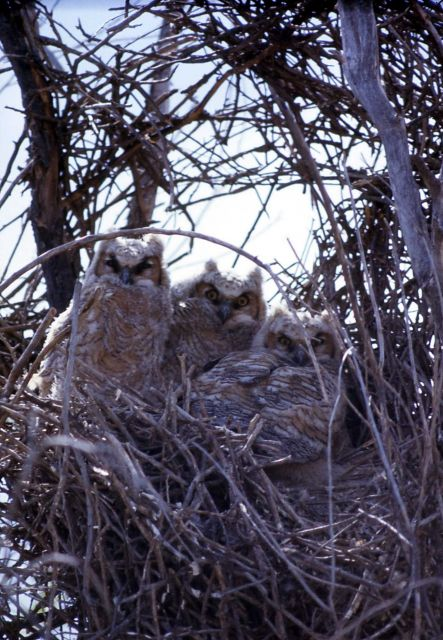 Three Great Horned Owl nestlings Picture