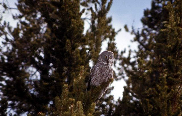 Great Gray Owl Picture