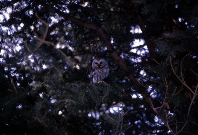 Saw Whet Owl Picture