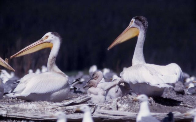 White pelicans & nestlings Picture