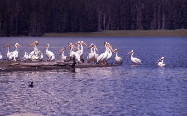 White pelicans & California gulls Picture