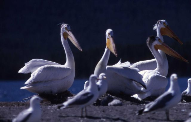 White pelicans, nestlings & California gulls Picture