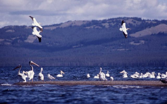 White pelicans at Molly Island Picture