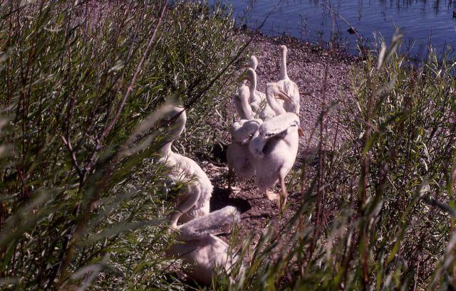 White pelican juveniles Picture