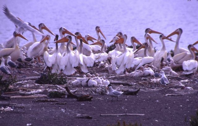 White pelicans, juveniles, California gulls & Caspian terns at Molly Island Picture